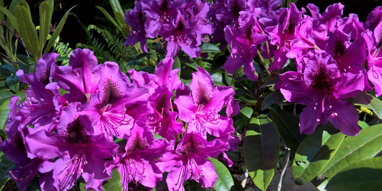 The Joy of Rhodies