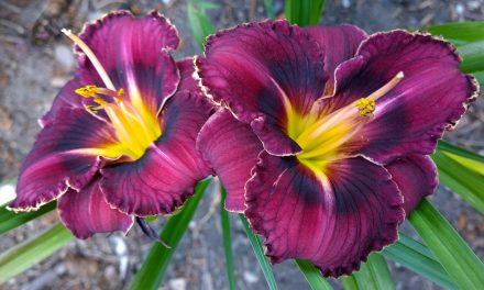 Dazzling Lilies