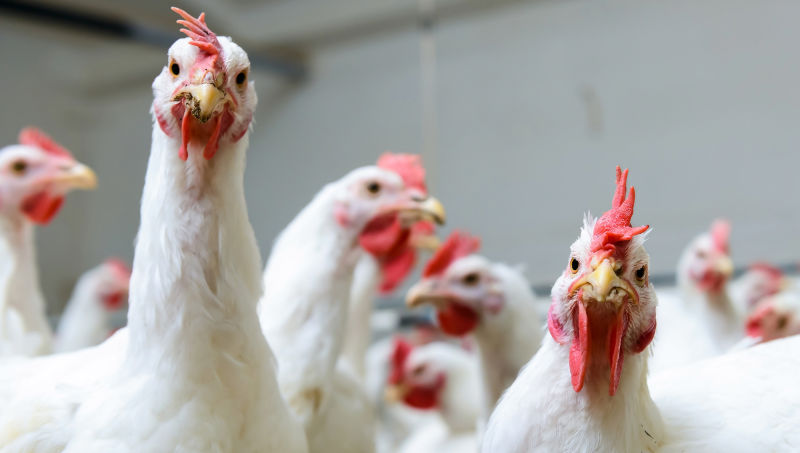 Study Finds Chickens Would Have No Qualms About Caging, Eating Humans